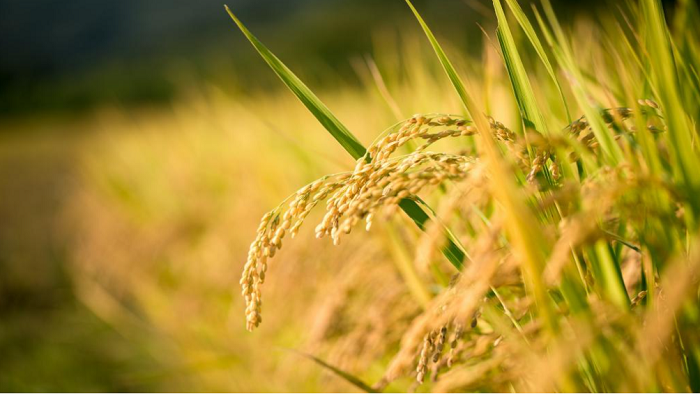 """พืชดัดแปลงพันธุกรรม (GM Crops)#3 ข้าวสีทอง ตอนที่ 2 การพัฒนาและประเมินความปลอดภัยทางชีวภาพ """"Golden Rice"""""""