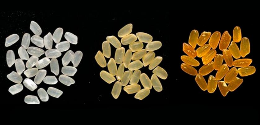 พืชดัดแปลงพันธุกรรม (GM Crops)#4 ข้าวสีทอง ตอนที่ 3 ข้าวสีทองดีเบต