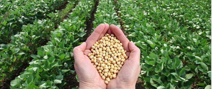 พืชดัดแปลงพันธุกรรม (GM Crops)#5 ถั่วเหลืองดัดแปลงพันธุกรรม