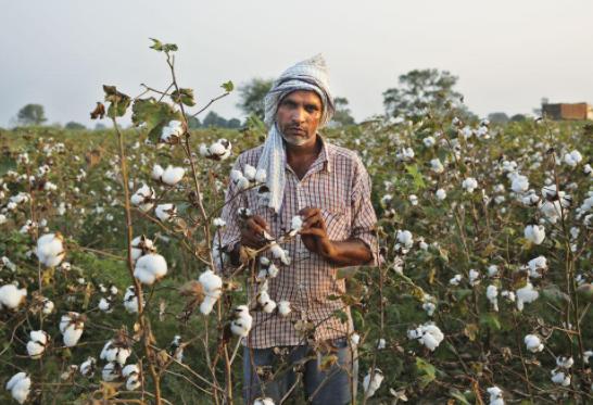 พืชดัดแปลงพันธุกรรม (GM Crops)#6 ฝ้ายดัดแปลงพันธุกรรม