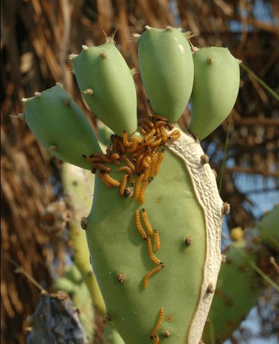 ทางเลือกในการกำจัดวัชพืชโดยไม่ใช้สารเคมี#4 การควบคุมวัชพืชด้วยวิธีชีวภาพ (Biological Weed Control)
