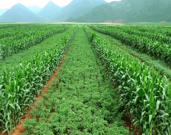 ทางเลือกในการกำจัดวัชพืชโดยไม่ใช้สารเคมี#2 การควบคุมวัชพืชโดยวิธีเขตกรรม (Cultural Weed Control)